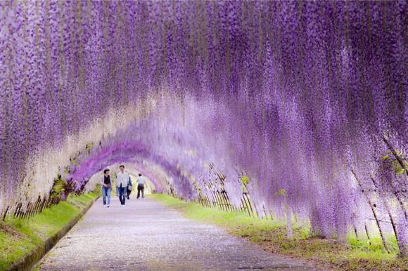 Wisteria-Flower-Tunnel-japonia